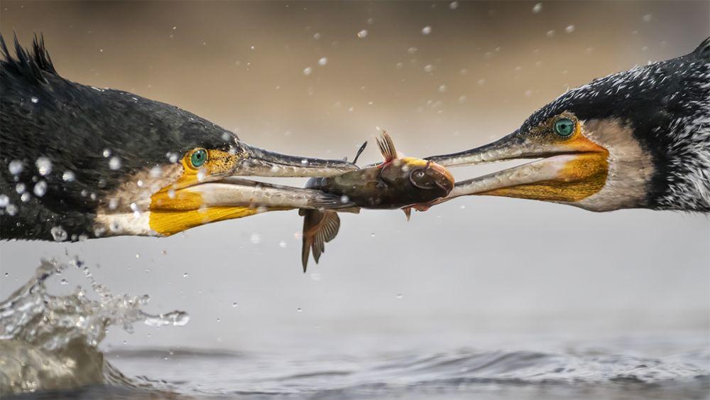Бакланы борются за добычу © Тони Чжан