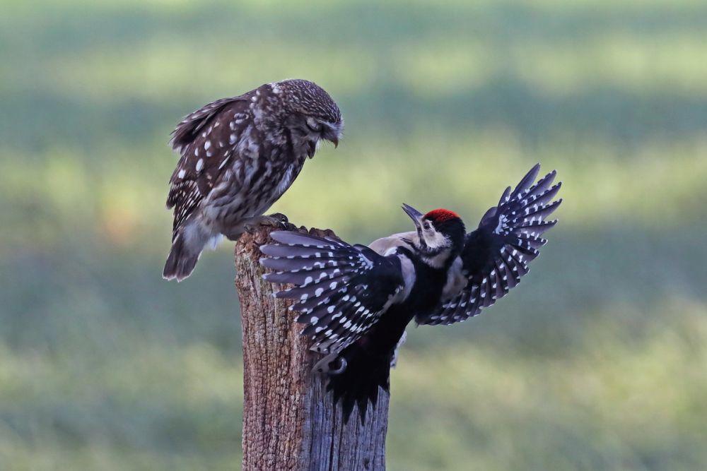 Маленькая сова и дятел © Бернд Штайн