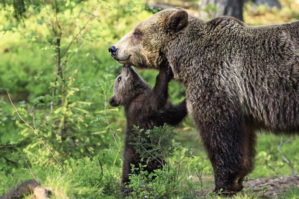 Медведи в Финляндии © Marcus Gangloff