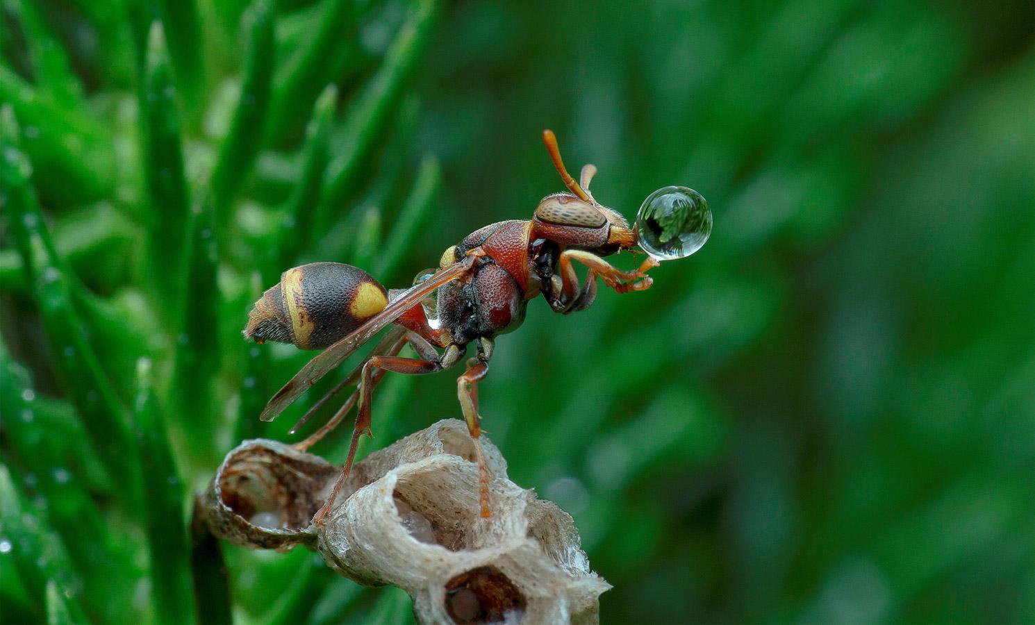 Оса, надувающая водный пузырь, © Лим Чу Хоу / Lim Choo How, Малайзия, 1 место в номинации «Макро», Фотоконкурс 35AWARDS — 100 Best Photos