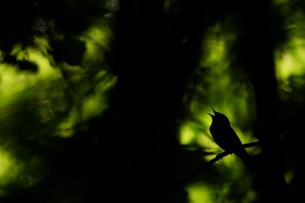 """Силуэт на деревьях"", © Тобиас Герде (Норвегия)"
