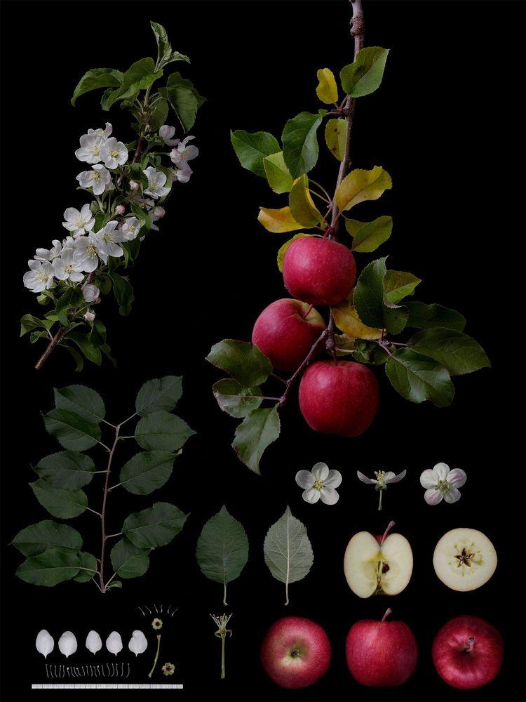 Идентификация фруктов: как фермер и селекционер, автор Масуми Шиохара, Япония