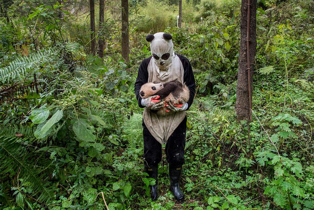 Отпускание панды в дикую природу, © Ами Витале / Ami Vitale, Монтана, Победитель в категории «Человек и природа», Фотоконкурс BigPicture