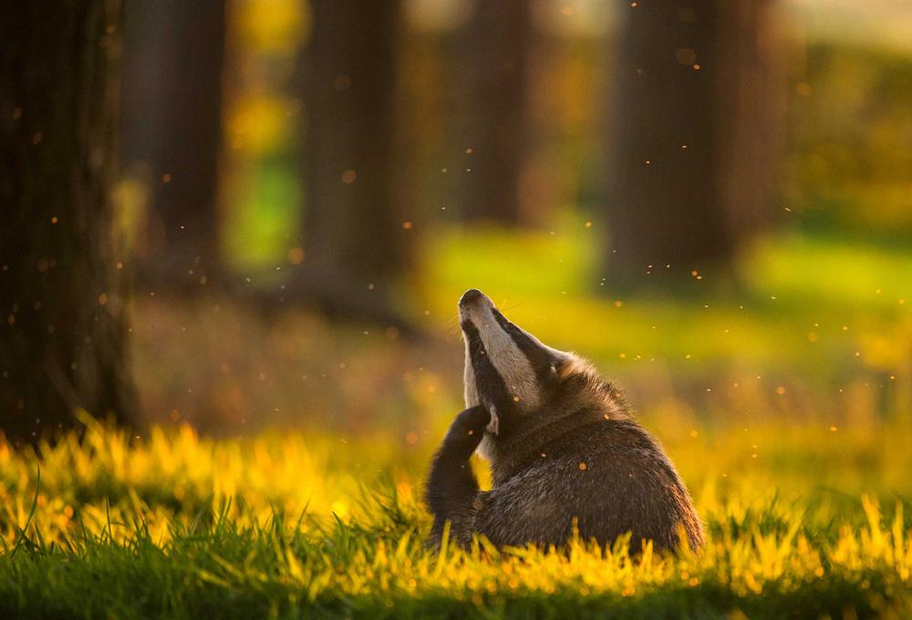 © Эндрю Паркинсон / Andrew Parkinson, Вечернее удовольствие, Дербишир, Великобритания, Победитель в категории Поведение животных, Фотоконкурс British Wildlife Photography Awards