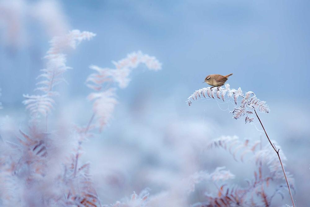 © Бен Холл / Ben Hall, Крапивник на морозном инкрустированном папоротнике, Данэм Мэсси, Чешир, Победитель в категории «Естественная среда», Фотоконкурс British Wildlife Photography Awards