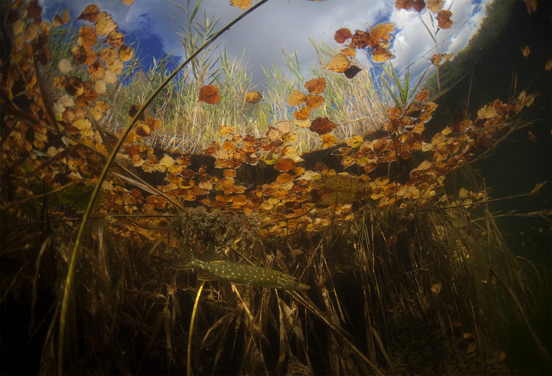 Скоро осень, Eduard Nikolaev, Подводная съемка, Фотоконкурс «Дикая природа России»