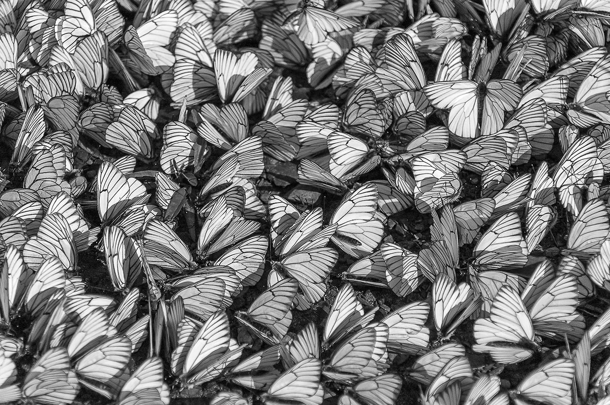 Фон из бабочек, Антон Белоусов, Природа в черно-белых тонах, Фотоконкурс «Дикая природа России»