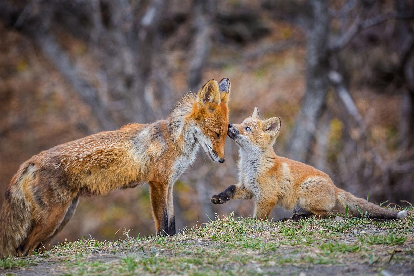 Лисьи нежности, Мария, Мамы и детеныши, Фотоконкурс «Дикая природа России»