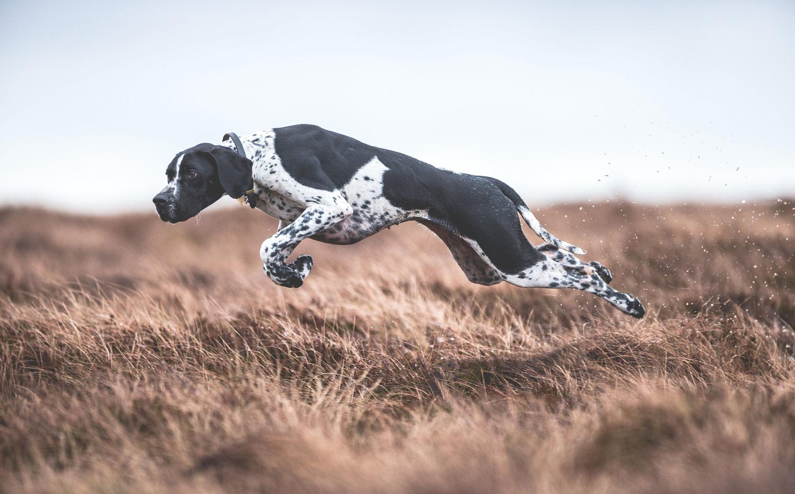 Сара Кальдекотт, Великобритания / Sarah Caldecott, UK, Победитель в категории «Собаки в работе», Фотоконкурс Dog Photographer of the Year