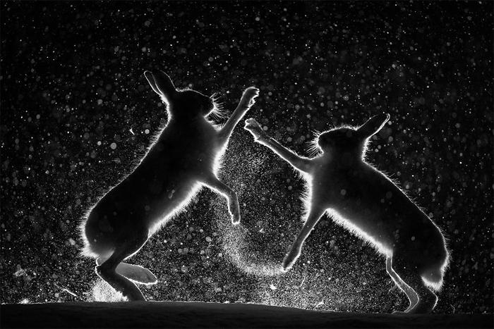 Снежная размолвка, © Эрленд Хаарберг / Erlend Haarberg, Фотограф года, Фотоконкурс GDT European Nature Photographer