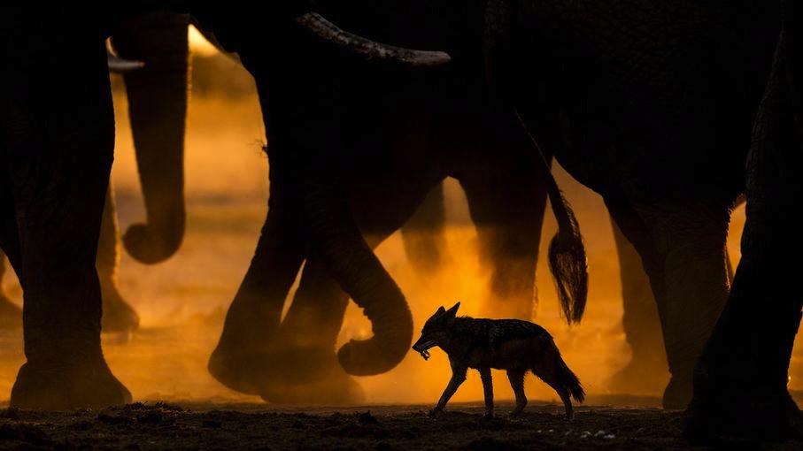 В следах у гигантов, © Сара Скиннер / Sarah Skinner, Великобритания, 1 место в категории «Млекопитающие», Фотоконкурс GDT European Nature Photographer