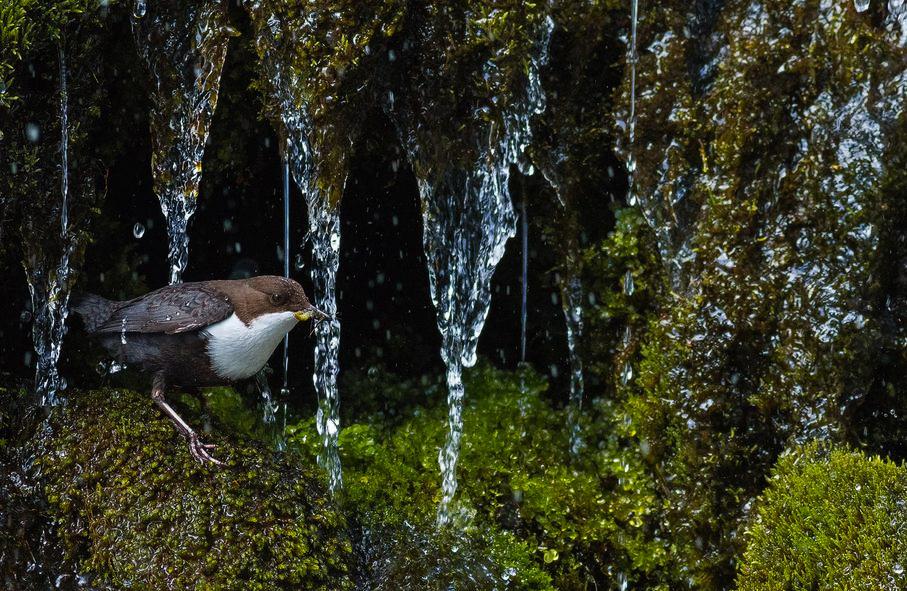 Оляпка, © Саймон Джонсен / Simon Johnsen, 1 место в категории «Молодёжь от 15 до 17 лет», Фотоконкурс GDT European Nature Photographer