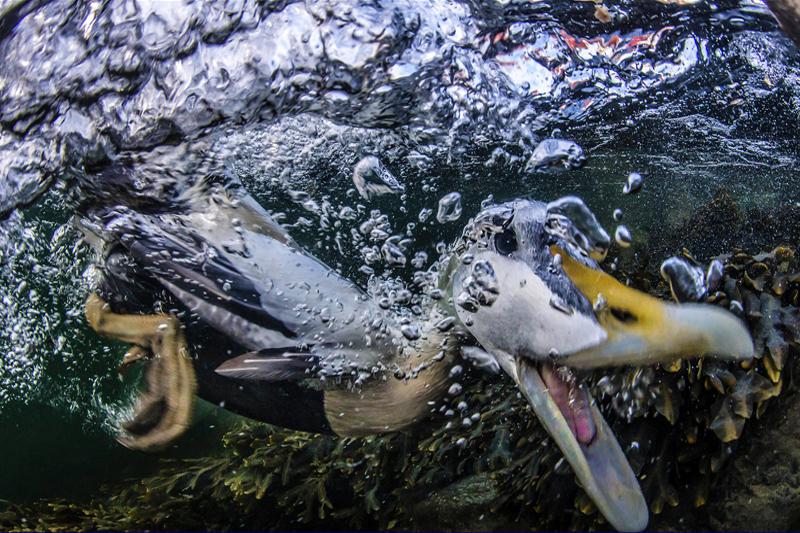 Хермансен Пал / Hermansen Pal, Норвегия, Подводный весельчак, Победитель в категории «Художники на крыльях», Фотоконкурс Glanzlichter