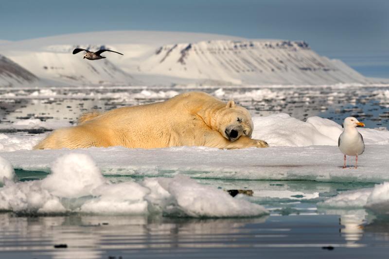 Мечтатель на льду, Галиц Рои / Galitz, Roie, Израиль, Победитель в категории «Спящие животные», Фотоконкурс Glanzlichter