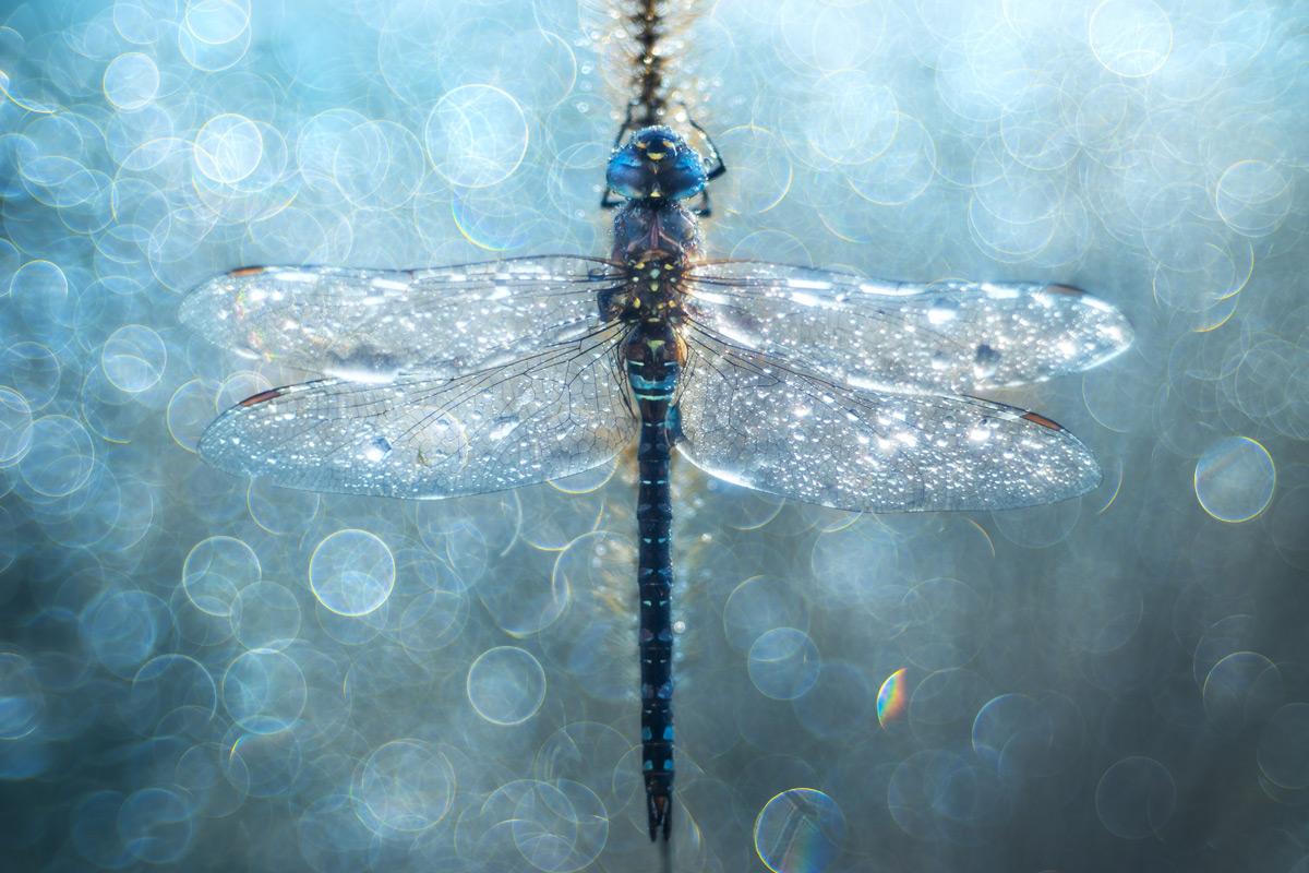 Сон стрекозы, © Петар Саболь / Petar Sabol, Хорватия, 2 место в категории «Цвет», Фотоконкурс HIPA