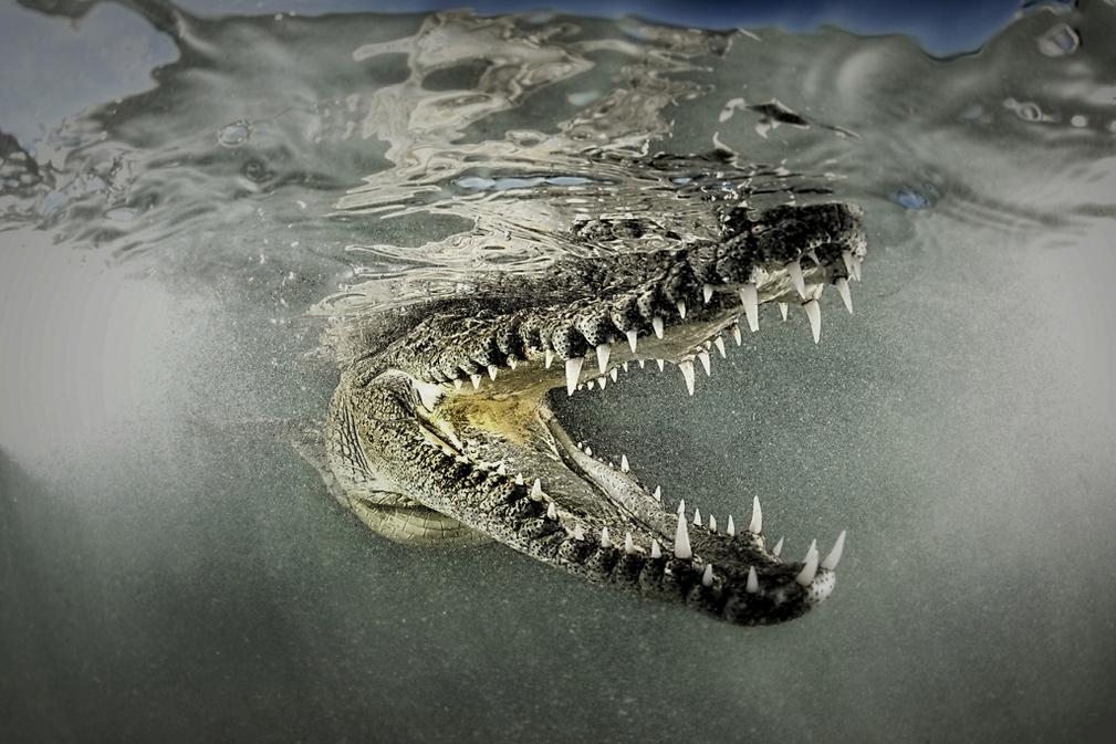 Улыбка крокодила, © Родни Бурсиэль / Rodney Bursiel, США, Победитель категории «Природа: Под водой», Фотоконкурс ND Awards Photo Contest