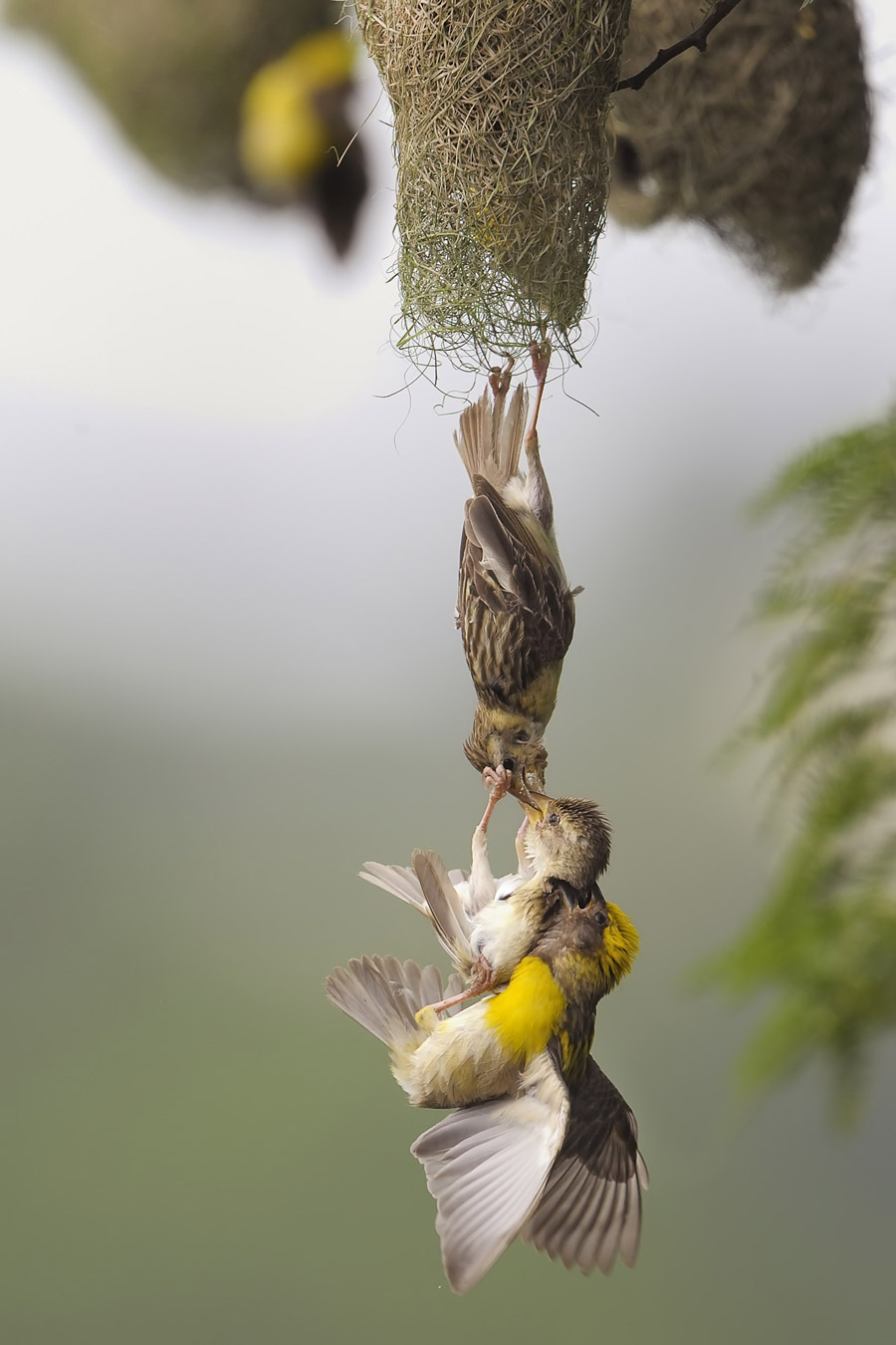 В Кришнане / V Krishnan, Мумбаи, Индия, Победитель в категории «Птицы», Фотоконкурс «Лучшая природная фотография Азии» — Nature's Best Photography Asia