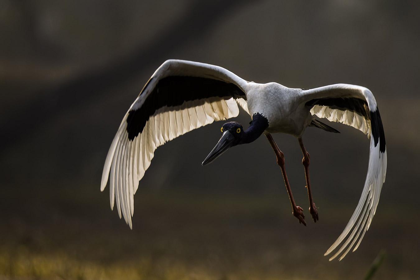 Индранил Басу Маллик / Indranil Basu Mallick, Пуна, Индия, Почётная оценка в категории «Птицы», Фотоконкурс «Лучшая природная фотография Азии» — Nature's Best Photography Asia