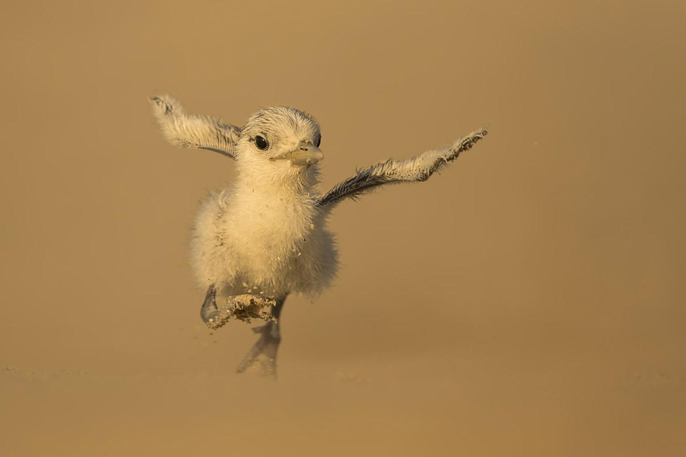 Омар Аль-Асем / Omar Al-Asem, Кувейт, Почётная оценка в категории «Птицы», Фотоконкурс «Лучшая природная фотография Азии» — Nature's Best Photography Asia