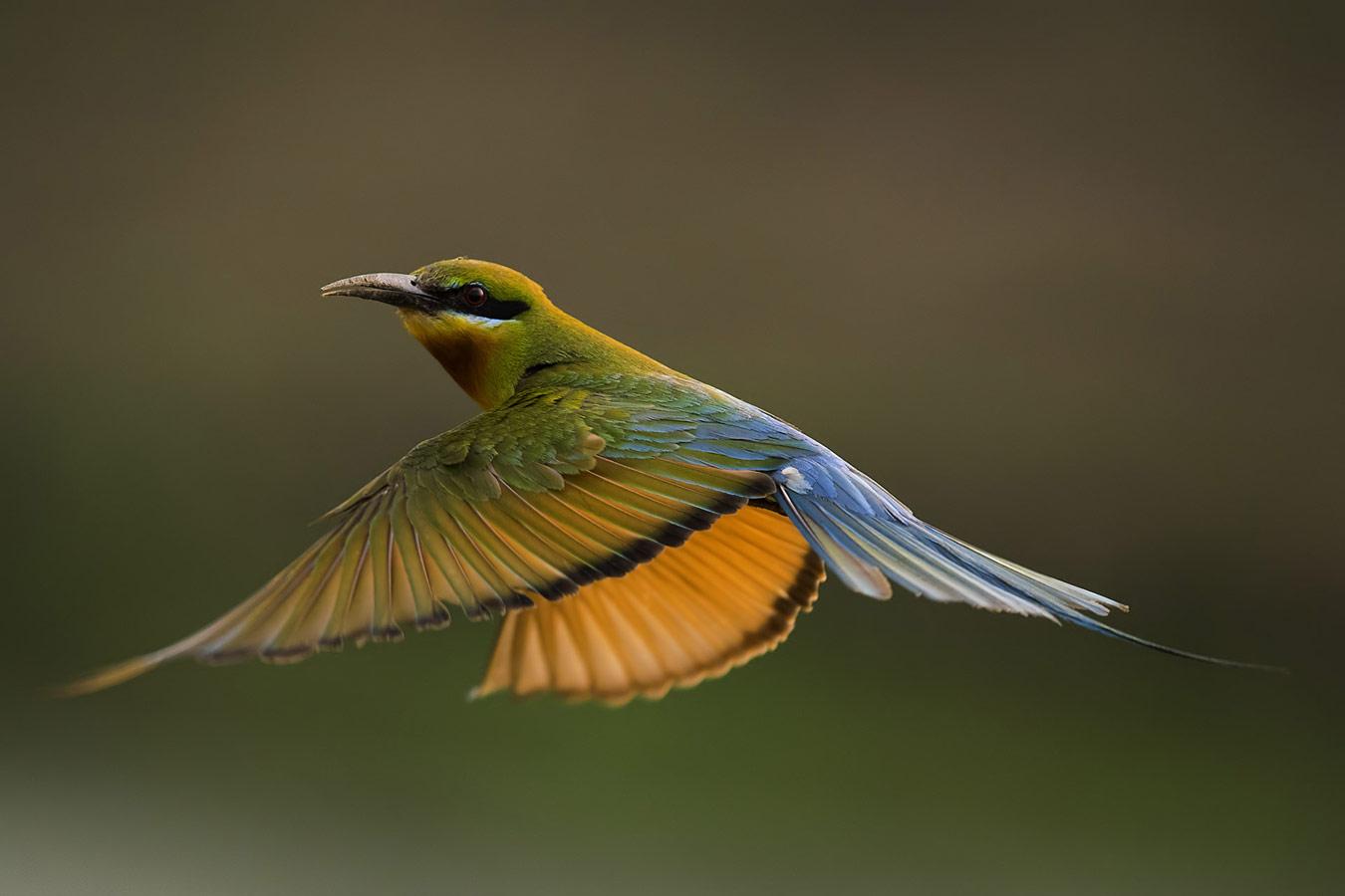 Каллол Михерджи / Kallol Mukherjee, Западная Бенгалия, Индия, Почётная оценка в категории «Птицы», Фотоконкурс «Лучшая природная фотография Азии» — Nature's Best Photography Asia