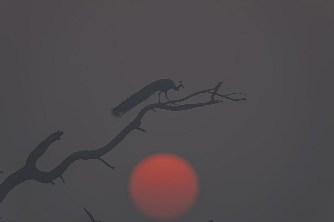 Винод (Байю) Патил / Vinod (Baiju) Patil, Аурангабад, Индия, Почётная оценка в категории «Птицы», Фотоконкурс «Лучшая природная фотография Азии» — Nature's Best Photography Asia