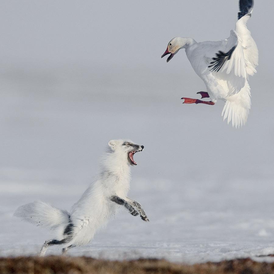 Сергей Горшков, Россия / Sergey Gorshkov, Russia, 1-е место в категории «Животные в природе», Фотоконкурс Siena International Photography Awards