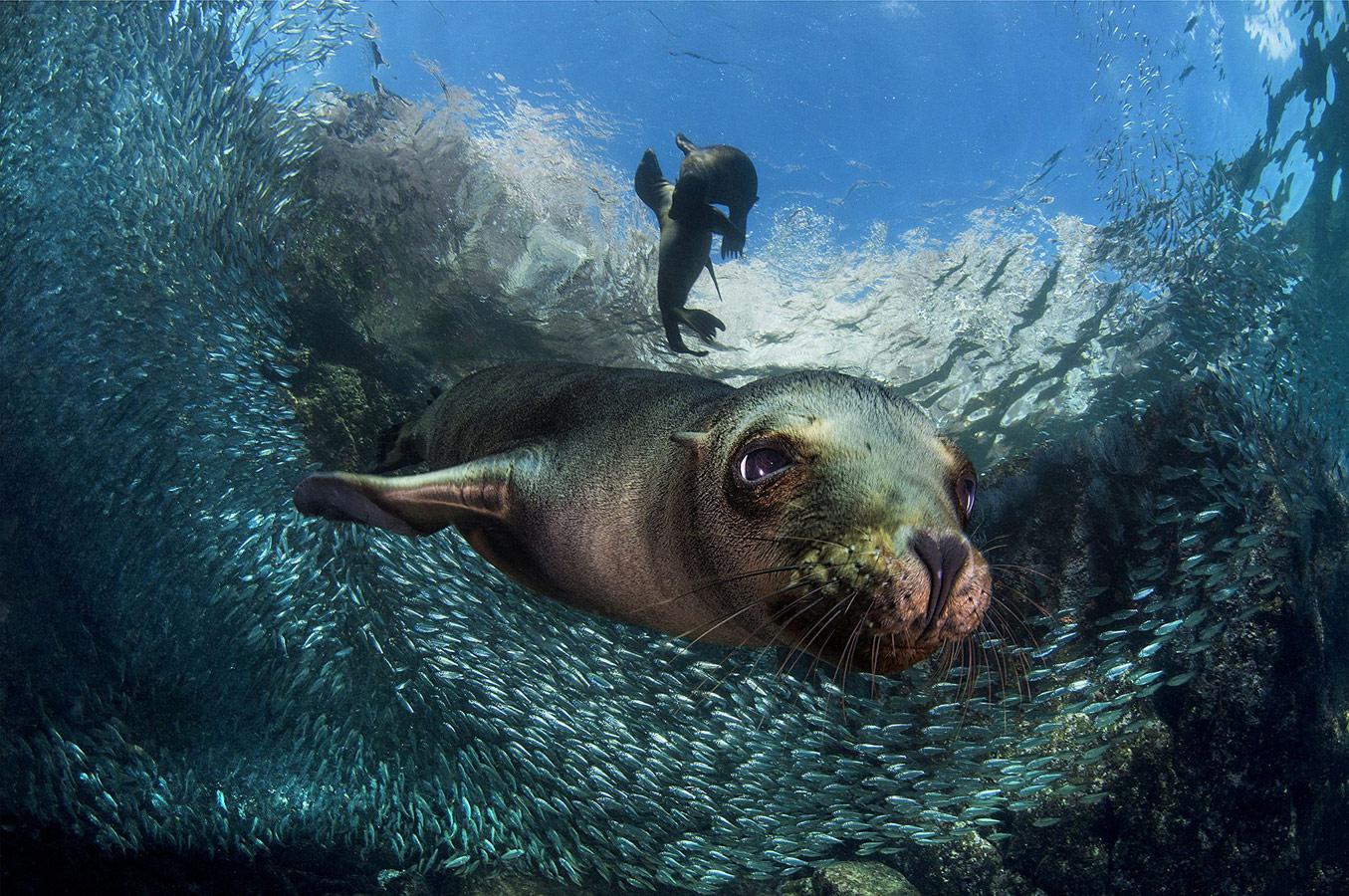 Филиппо Борги, Италия / Filippo Borghi, Italy, 3-е место в категории «Животные в природе», Фотоконкурс Siena International Photography Awards