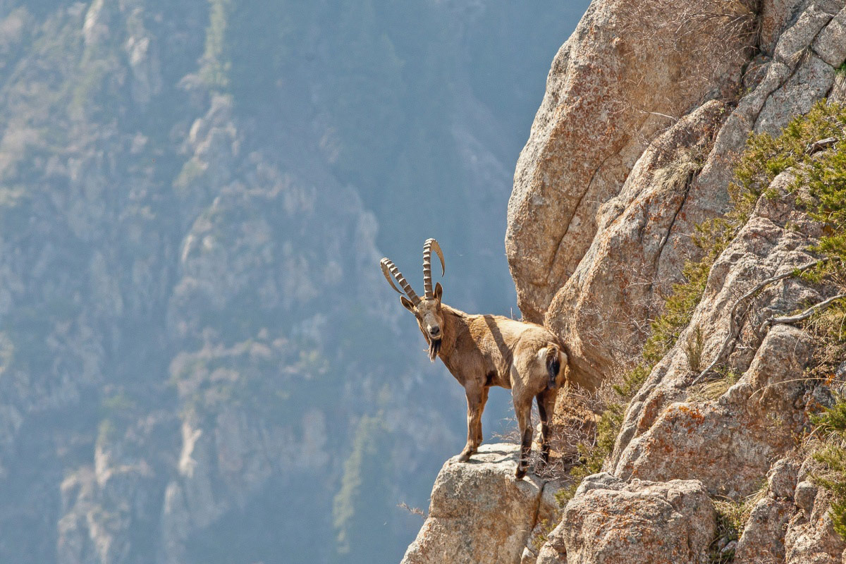 Салторе Сапарбаев, Горный козел, Финалист 2017 года в номинации «Природа», Фотоконкурс «Стихии науки»