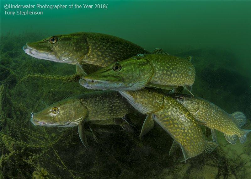 Тони Стивенсон, Великобритания / Tony Stephenson, UK, Британский перспективный подводный фотограф года, Фотоконкурс «Подводный фотограф года 2018»
