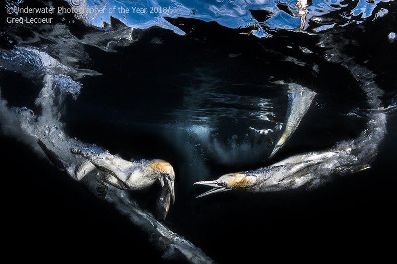 Грег Лекоер, Франция / Greg Lecoeur, France, 3-е место в категории «Поведение», Фотоконкурс «Подводный фотограф года 2018»