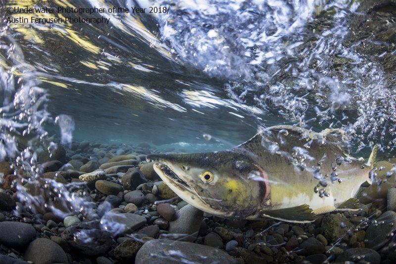 Остин Фергюсон (США) / Austin Ferguson (USA), 3-е место в категории «Перспективный фотограф», Фотоконкурс «Подводный фотограф года 2018»