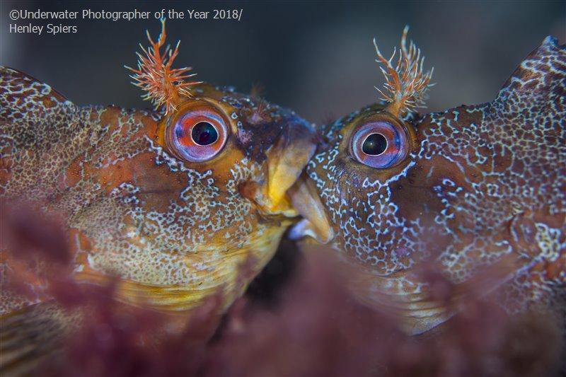Хенли Спирс (Великобритания) / Henley Spiers (UK), Победитель в категории «Британское подводное макро», Фотоконкурс «Подводный фотограф года 2018»