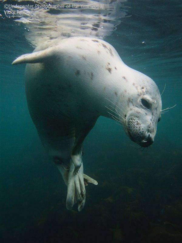 Вики Пейнтер (Великобритания) / Vicky Paynter (UK), Победитель в категории «Британский подводный компакт», Фотоконкурс «Подводный фотограф года 2018»
