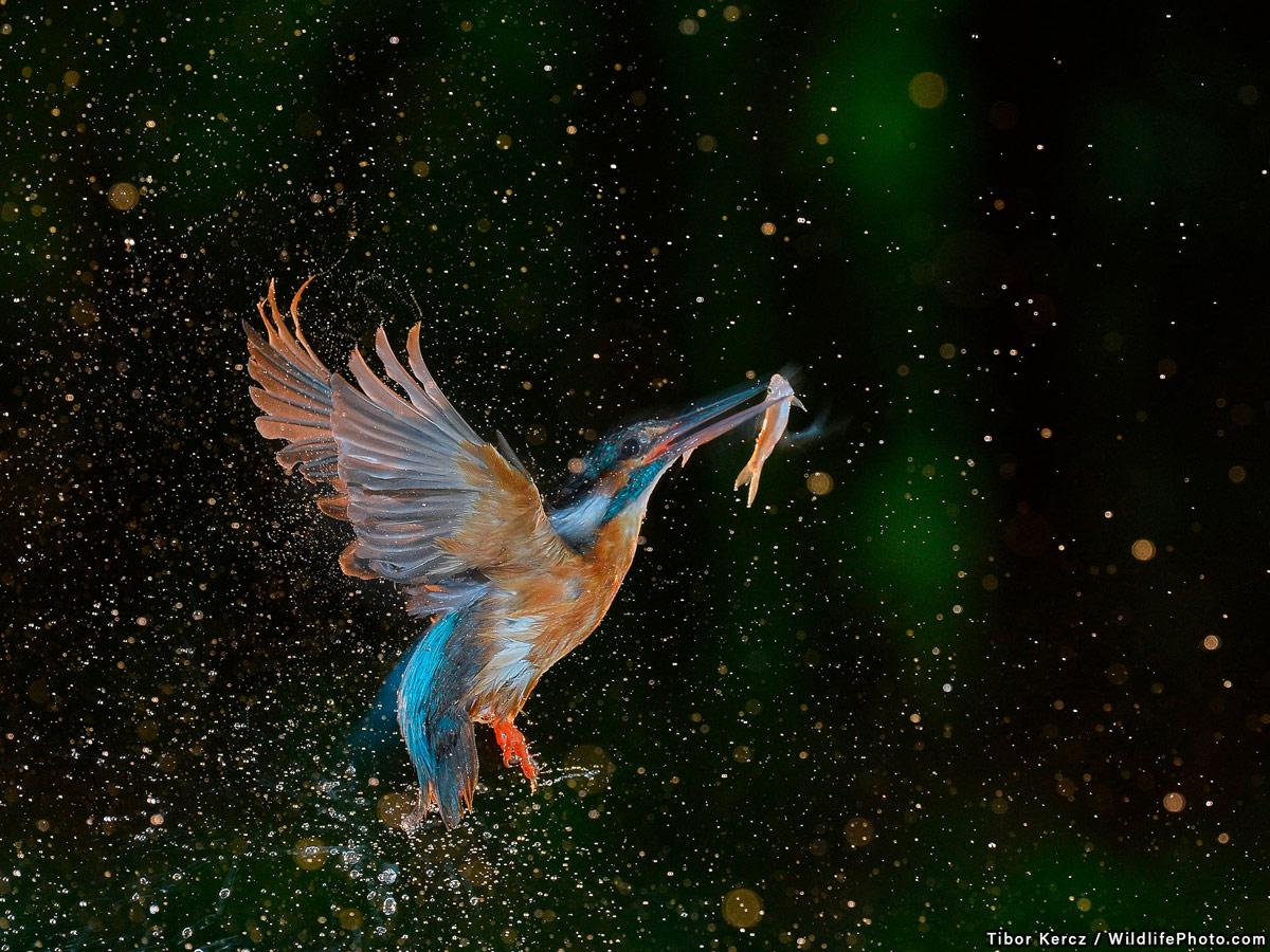 Фееричный момент, © Тибор Керч, Победитель, Фотоконкурс «Поведение животных»