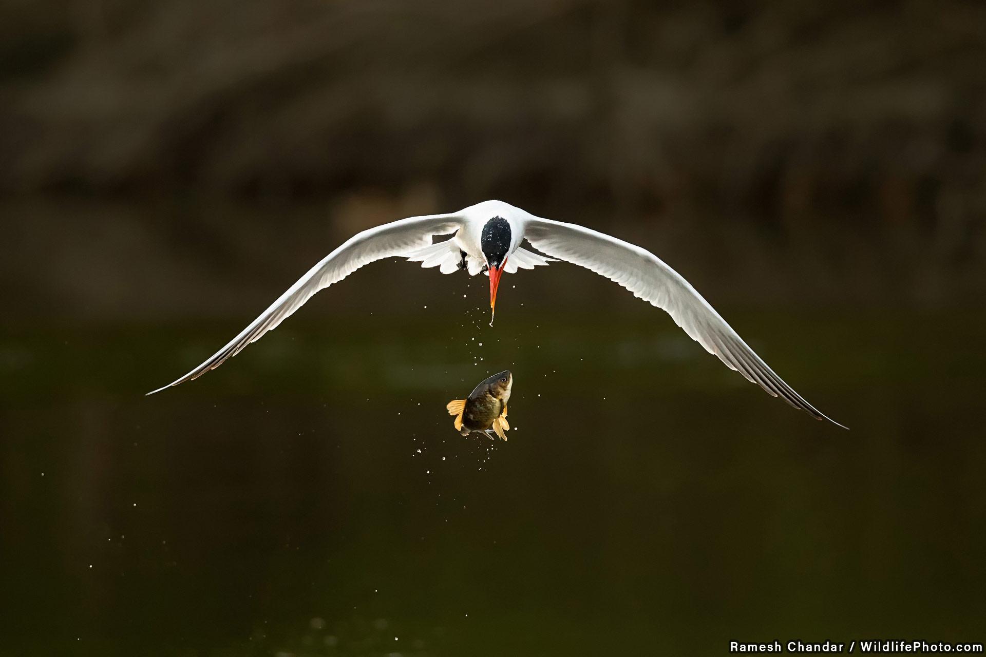 Большой побег, © Рамеш Чандар, Высокая оценка, Фотоконкурс «Поведение животных»