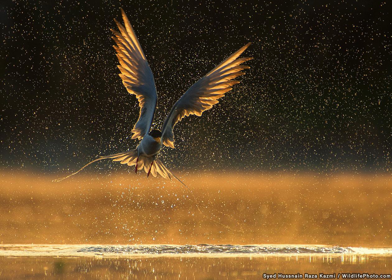 Крачка, © Сайед Хасснайн Раза Казми, Высокая оценка, Фотоконкурс «Поведение животных»