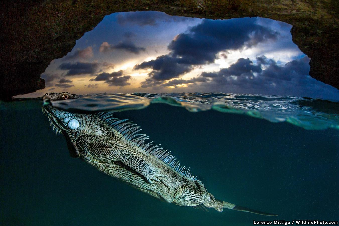 Зелёная Игуана, © Лоренцо Миттига, Второе место, Фотоконкурс «Поведение животных»