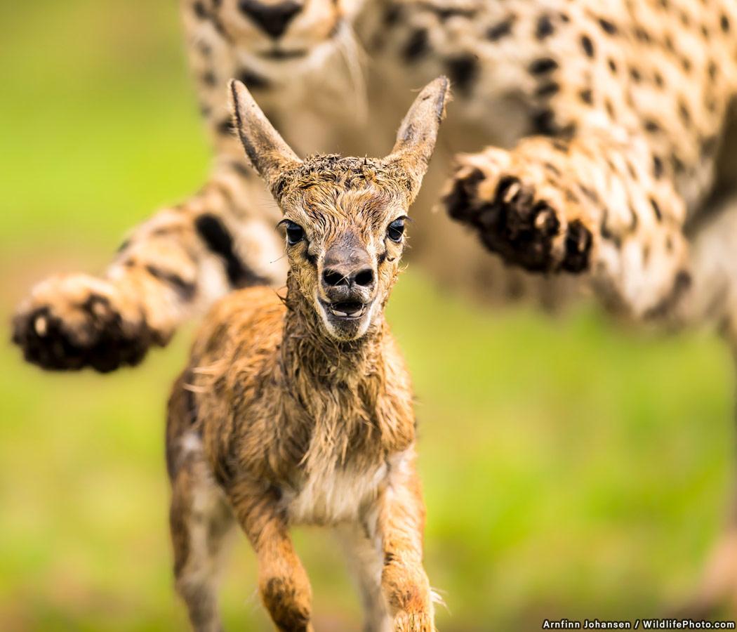 Охота, © Арнфинн Йохансен, Высокая оценка, Фотоконкурс «Поведение животных»
