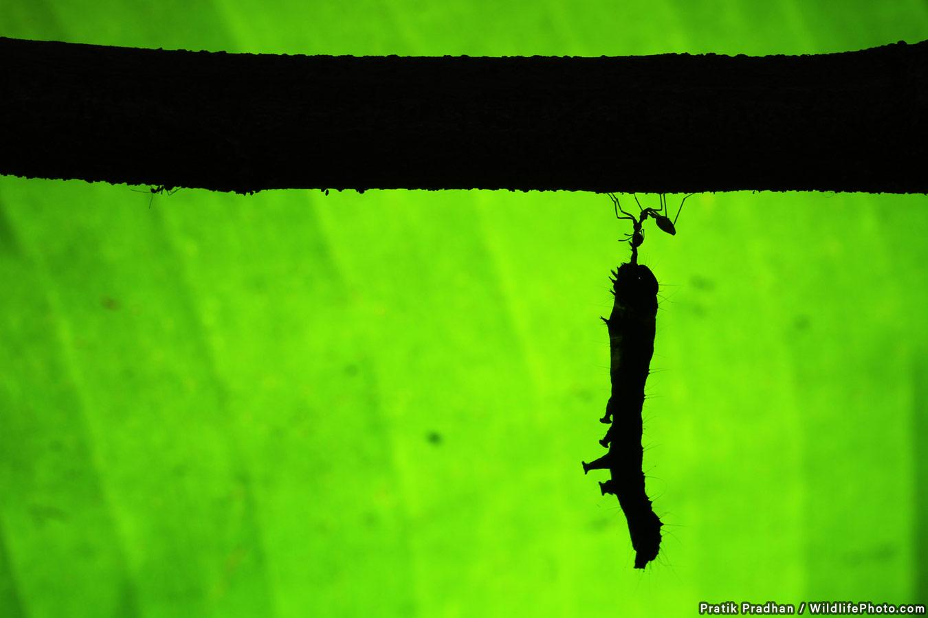 Искусство выживания, © Пратик Прадхан, Высокая оценка, Фотоконкурс «Поведение животных»