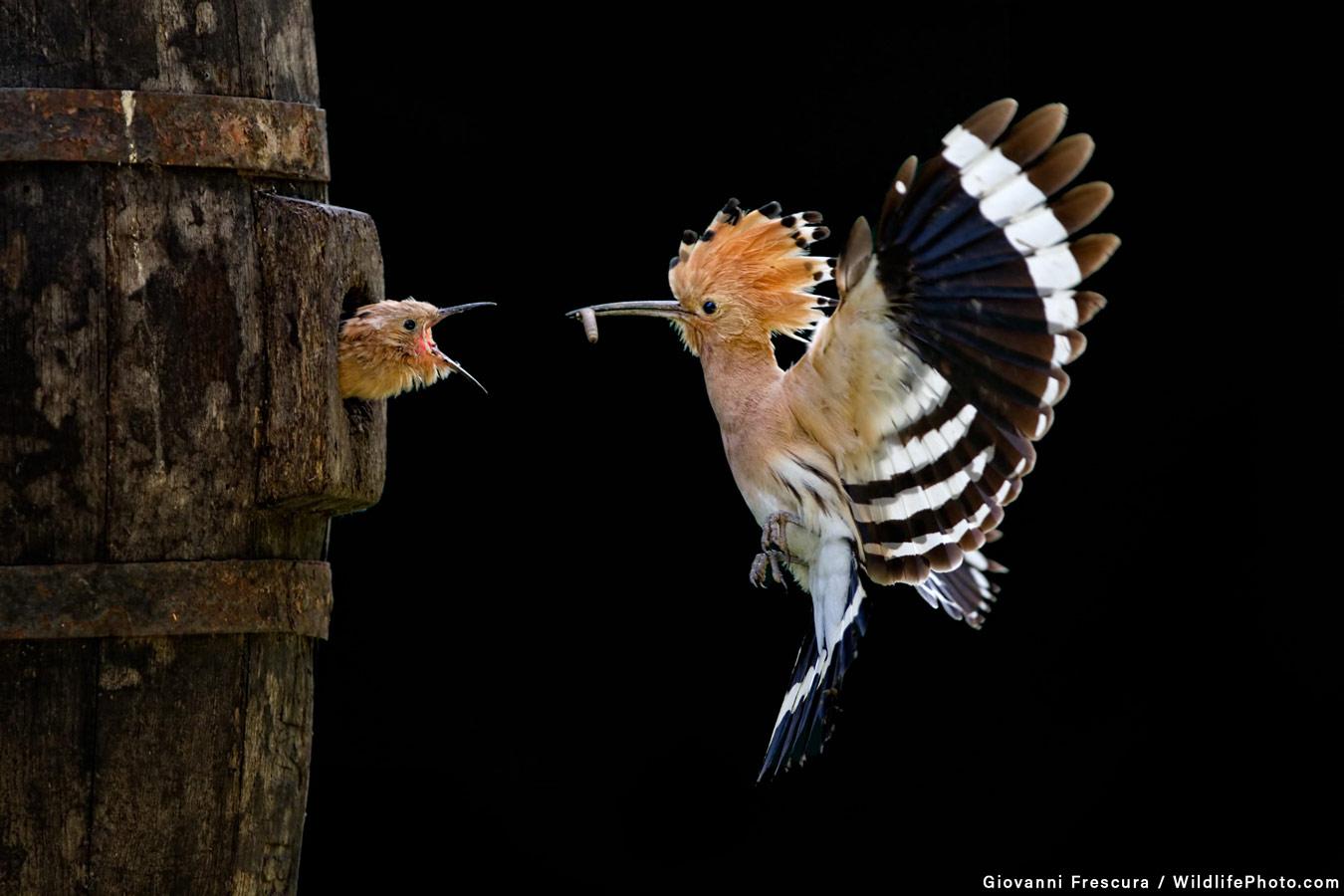 Кормление, © Джованни Фрескура, Высокая оценка, Фотоконкурс «Поведение животных»