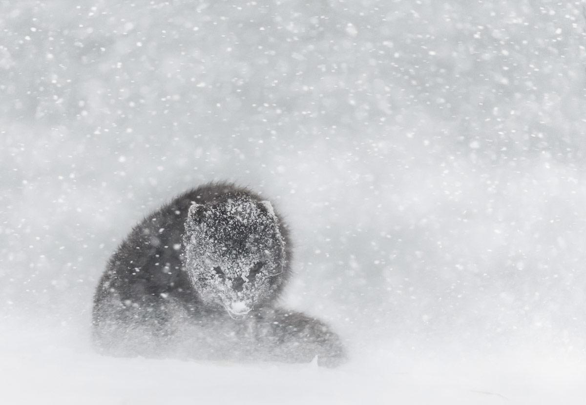 © Дэвид Гиббон, 2 место в категории «Арктическое биоразнообразие», Фотоконкурс «Арктическое биоразнообразие через объектив»