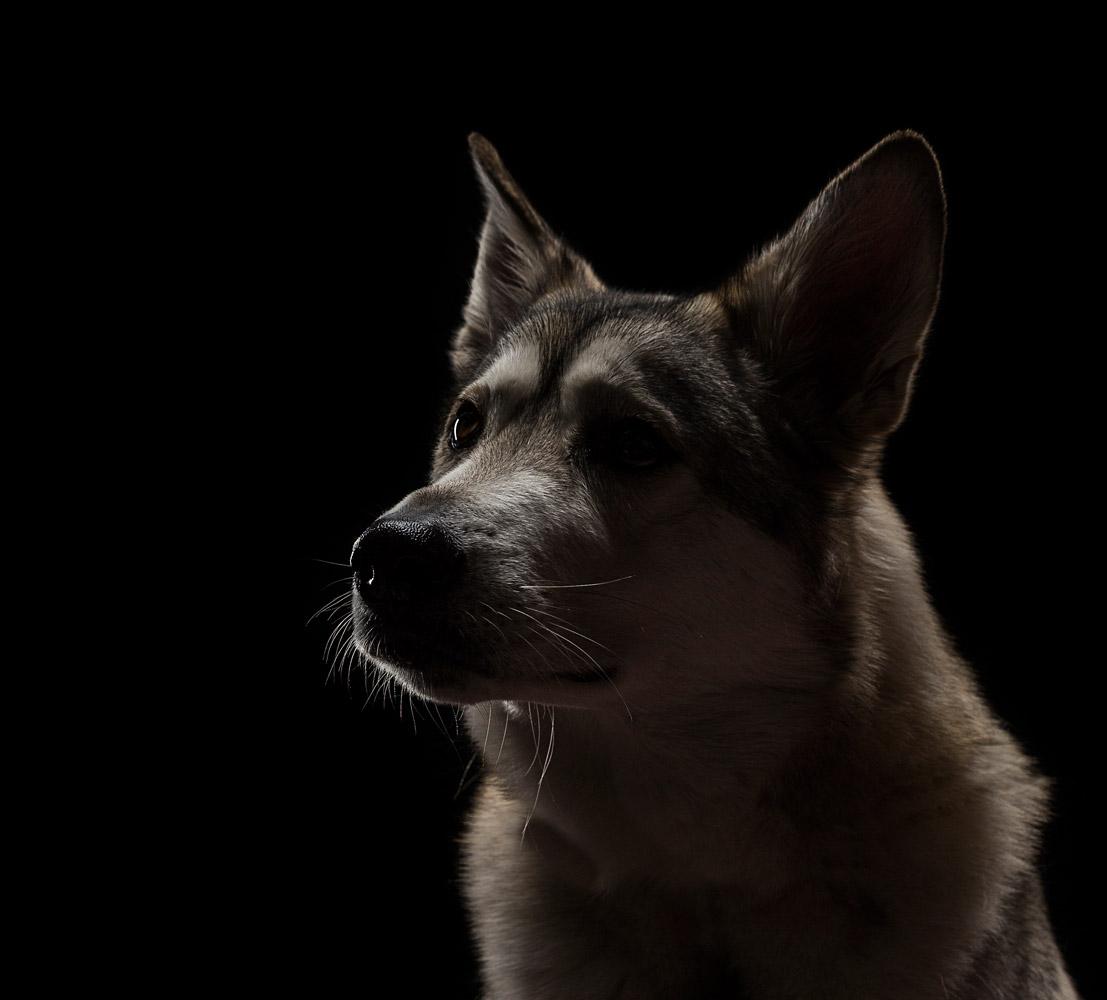 Волк Коди, © Гэри Громер, Прескотт, США, Финалист категории «Работа на заказ», Фотоконкурс домашних животных «Лучшие друзья»