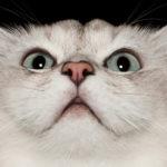 Кошачье «Мяу!», © Александра Сирнс, Северная Перт, Австралия, Финалист категории «Персональная работа», Фотоконкурс домашних животных «Лучшие друзья»