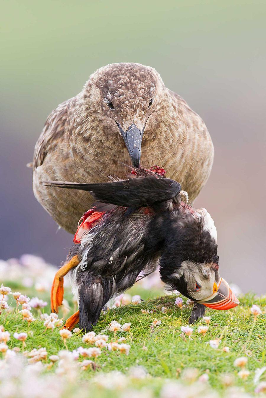 Жизнь и смерть на краю света. Шетландские острова, Шотландия, © Сунил Гопалан, Конкурс фотографий дикой природы British Wildlife