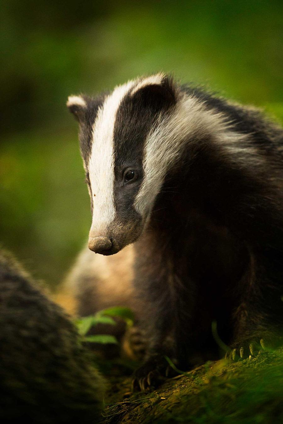 Бин. Национальный парк Пик Дистрикт, Дербишир, © Тесни Уорд, Конкурс фотографий дикой природы British Wildlife
