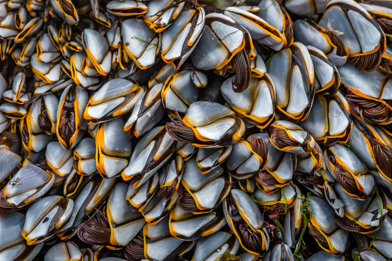 Гусиная ракушка. Санна Бэй, Хайленд, © Дэвид Беннетт, Конкурс фотографий дикой природы British Wildlife