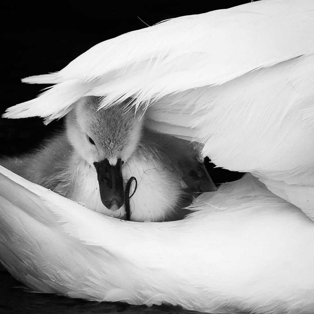Материнская любовь. Река Стаур, Дорсет, © Джош Кларк, Конкурс фотографий дикой природы British Wildlife