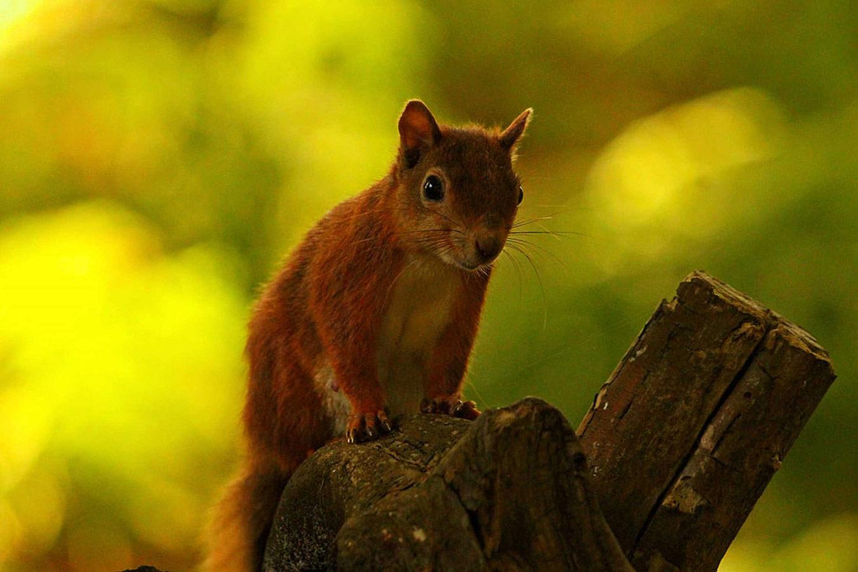 Рыжик. Остров Браунси, Дорсет, © Джоэл Осборн, Конкурс фотографий дикой природы British Wildlife