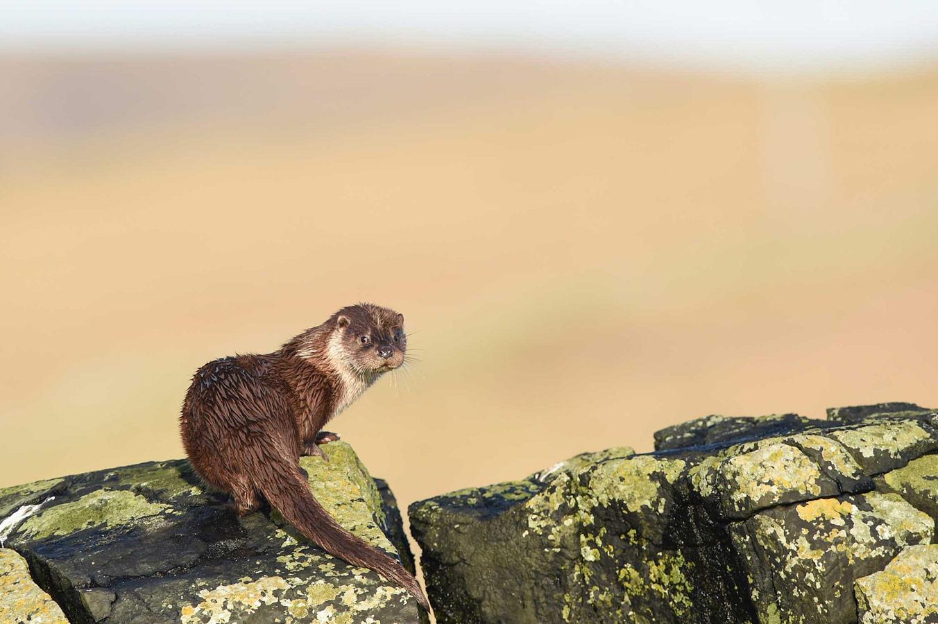 На вершине скалы. Шетланд, © Кейси Хантер Томасон, Конкурс фотографий дикой природы British Wildlife