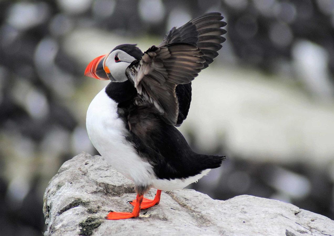 Собрался в полёт. Острова Фарн, Нортумберленд, © София Деннетт, Конкурс фотографий дикой природы British Wildlife